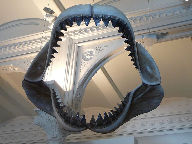 Megalodon Jaws Museum of Natural History