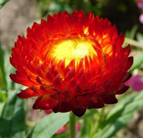 Helichrysum_bracteatum_1